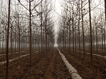 Paulownia artificial forest
