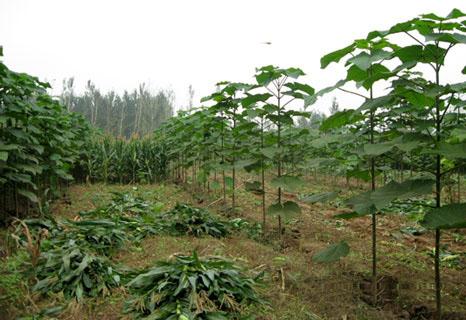 paulownia afforestation