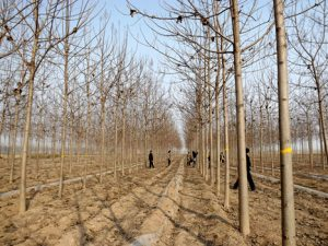 What aspects of Paulownia will be affected by land preparation for afforestation?