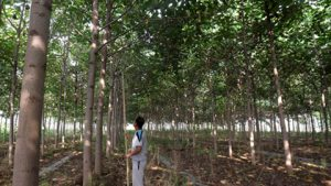 How to reduce planting cost of Paulownia commercial forest?