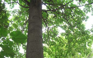 Important factors affecting the output of Paulownia wood