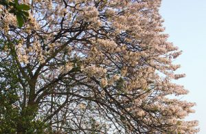 Four species of wild-type Paulownia