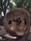Harm to the tree caused by injurious insect