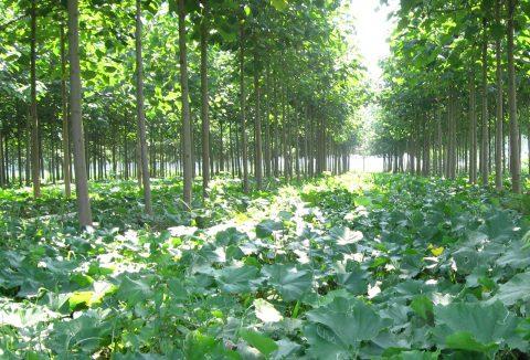 paulownia forest