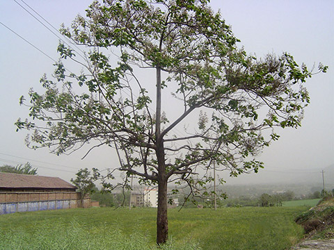 For the intermittently-dried paulownia seeds, after 5 years of planting, two main trunks with a large difference in thickness between the upper and lower stems are formed, and the yield rate is low.