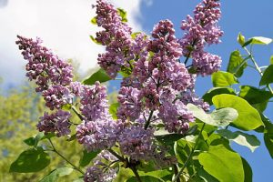 Paulownia is appropriate business solution
