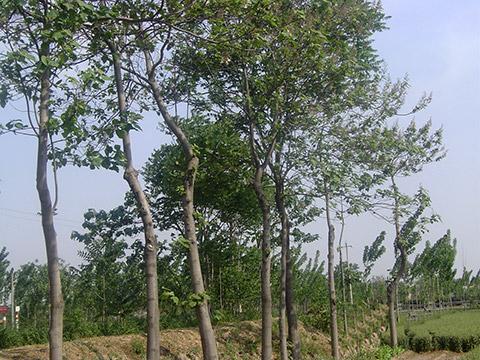 natural Paulownia
