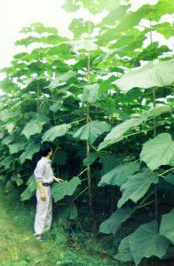 Why should Paulownia be pruned reasonably?
