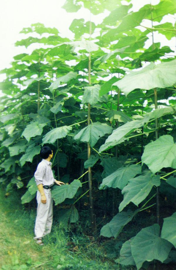 paulownia seedlings