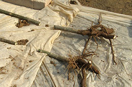 paulownia roots