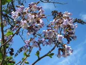 What content of paulownia afforestation will be affected by climate?