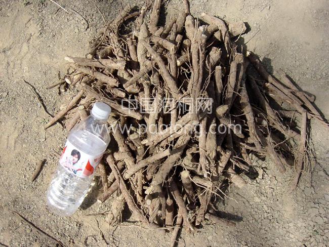 Paulownia Seed Roots