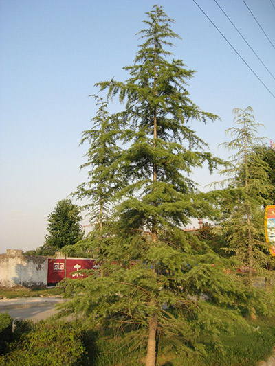 Pine--vigorous growth of the leader branch