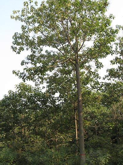 Narrow crown paulownia
