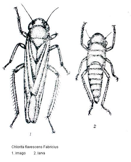 Primary Pests Of Paulownia