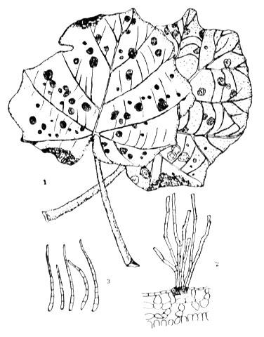 Primary Diseases Of Paulownia