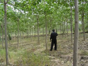 Afforestation characteristics of the wild-type and semi-wild-type
