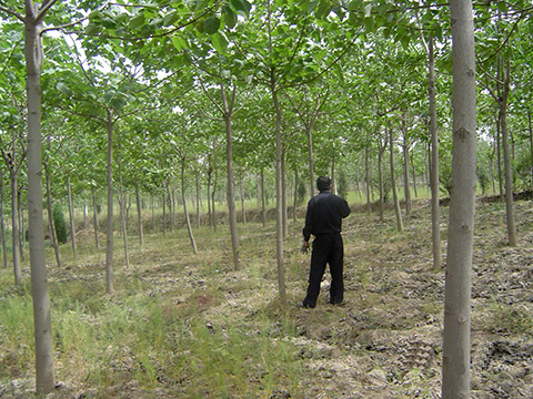 Sapling forest of natural paulownia having grown for 4 years