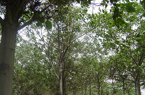 Forest plantation of the old generation artificial-crossing-type paulownia having grown for 7 years