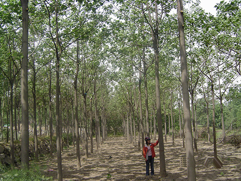 Sapling forest of the new generation artificial-crossing-type paulownia having grown for 4 years