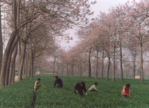 Intercropping Paulownia with other plants can increase production efficiency