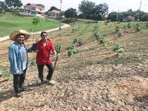 Resorts planting 1,200 Paulownia trees