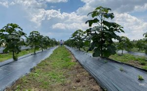 Paulownia species, environmental solution